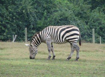 Zebra_4_2_1